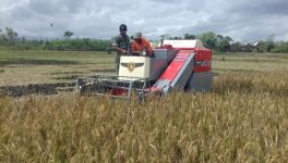 Anggota TNI Dampingi Petani di Jember Panen Padi