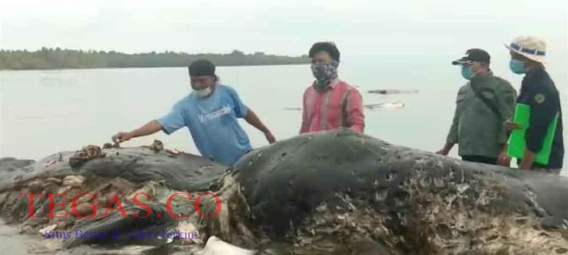 Paus Makan Sampah Pelastik Ditemukan Warga Mati di Perairan Wakatobi