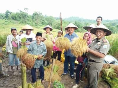 Bupati Buton Utara Abu hasan saat bersama wakilnya Ramadio memanen padi lokal. FOTO : MIRDAT