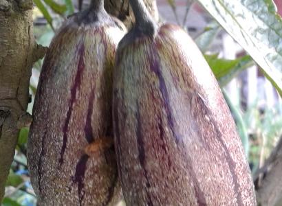 Buph Pepina atau melodi yang banyak tumbuh di dataran tinggi sekitar gubnung Bromo yang banyak akan manfaat kesehatannya. FOTO : ASL