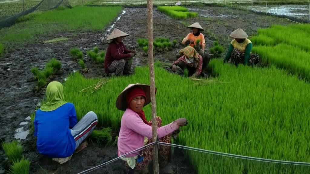 Petani Rela Tidak Mandi Demi Memenuhi Kebutuhan Pengairan Sawah