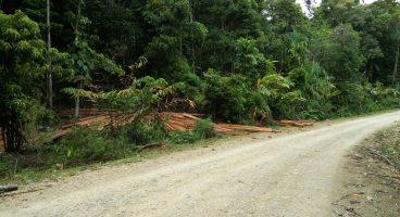 Penebang Liar Kembali Marak Disepanjang Jalur Maligano-Ronta