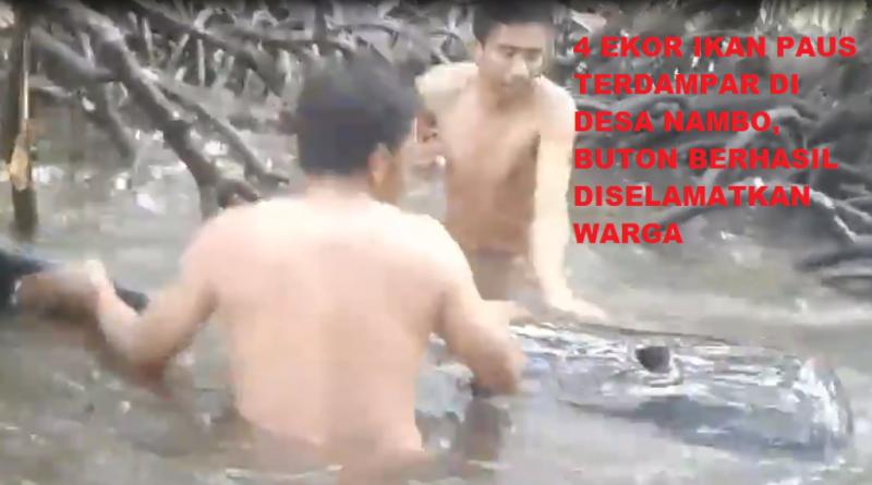 Video, Sejumlah Pemuda Selamatkan Ikan Paus yang Terdampar di Nambo, Buton
