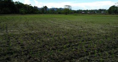 Puluhan Hektar Sawah Tada Hujan di Butur Alami Kekeringan