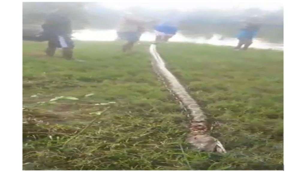 Video: Empat Warga Konut Tangkap Ular Piton 7 Meter Pakai Tali Nilon