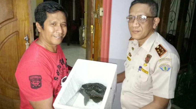 Dilarang, Kadis Kominfo Baubau Serahkan 'Ikan Sapu-Sapu' ke Balai Karantina