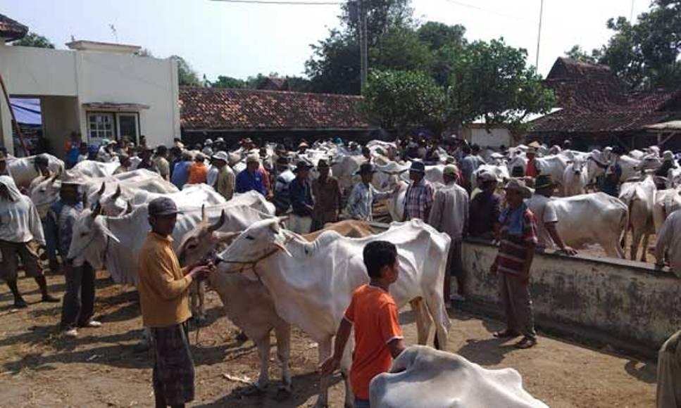 lapak penjual sapi di jepara jelang hari raya idul Adha bakal diperiksa dari Dinas peternakan. FOTO : DSW